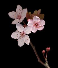 Cherry Blossom (Prunus Cerasifera Nigra)