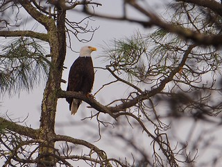 Bald Eagle (Haliaeetus leucocephalus) | by NicholasHess