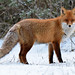 Red Fox - Photo (c) Ott Rebane, some rights reserved (CC BY)