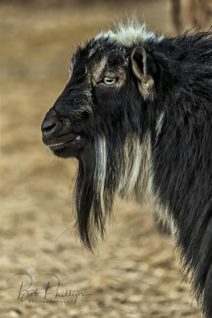 goat porn