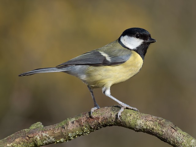 Great Tit 'Parus major'
