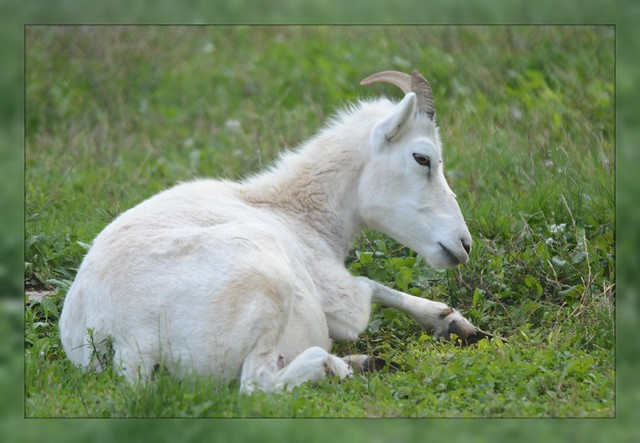 [/] Dall Sheep Contemplation [/]