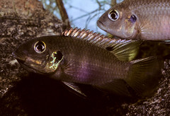Benitochromis aff. nigrodorsalis, mouthbrooding female