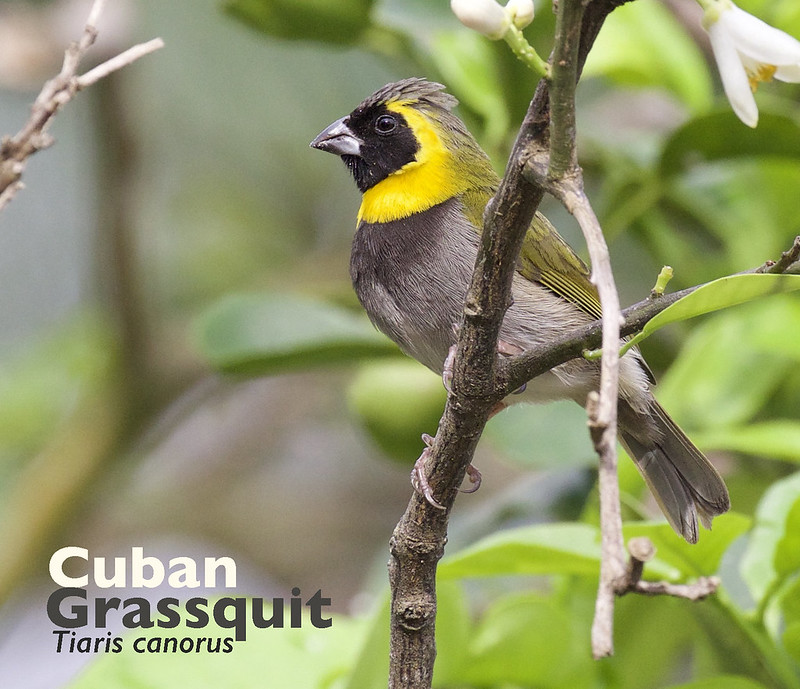Cuban Grassquit, Tiaris canorus_199A4989