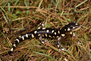 California Tiger Salamander (Ambystoma californiense) | by Chad M. Lane