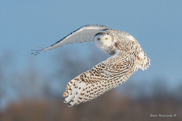 Snowy Owl, classic pose