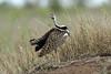 Lissotis melanogaster ♂ (Black-bellied Bustard) - South Africa by Nick Dean1