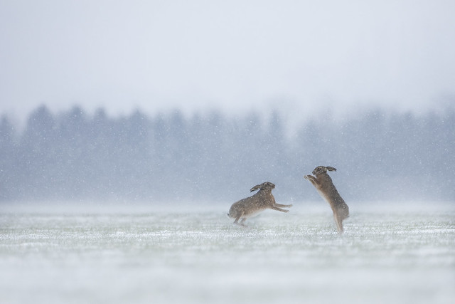 Brown Hare Boxing in Snow