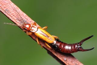 Earwig (Order Dermaptera) | by Rundstedt B. Rovillos