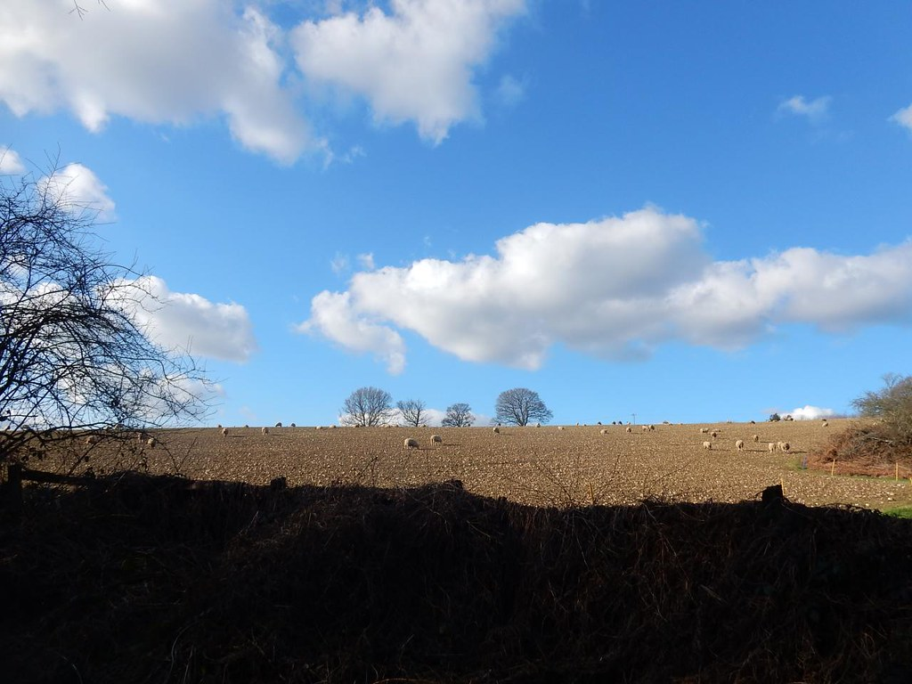 Sheep in a field Balcombe Circular (winter)