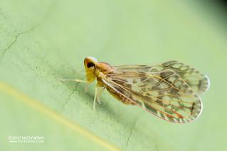 Planthopper (Derbidae) - DSC_1719