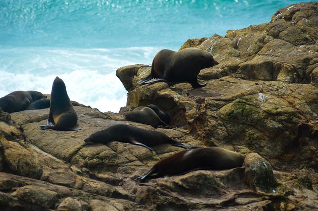 New Zealand Fur Seals  (Arctocephalus forsteri)