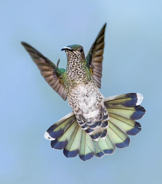Female White Necked Jacobin Hummingbird.