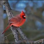 1235-  Male Cardinal