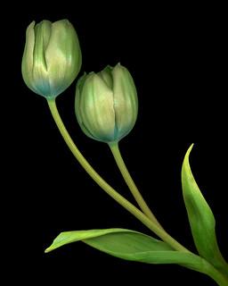 Green Tulip Pair