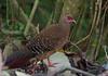 Swinhoe's Pheasant.  Lophura swinhoii. Dasyueshan Forest. Taiwan. 7/01/2018 by Paul Dermot Gallagher