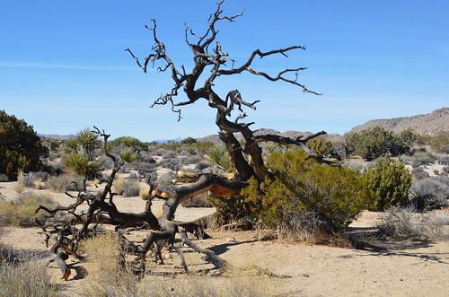 Joshua Tree - desert driftwood