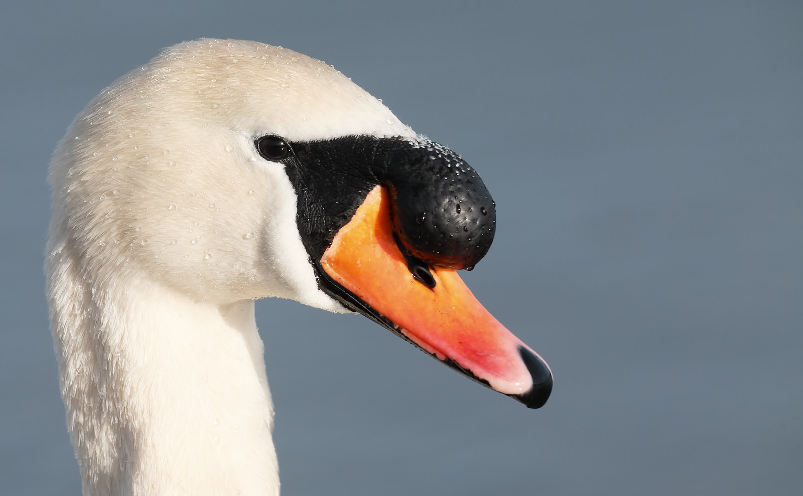 Male Mute Swan [head-shot]