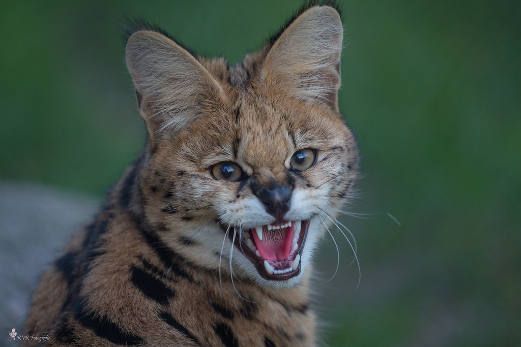Serval (Leptallurus Serval)