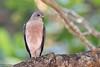 Shikra, Accipiter badius by Kevin B Agar