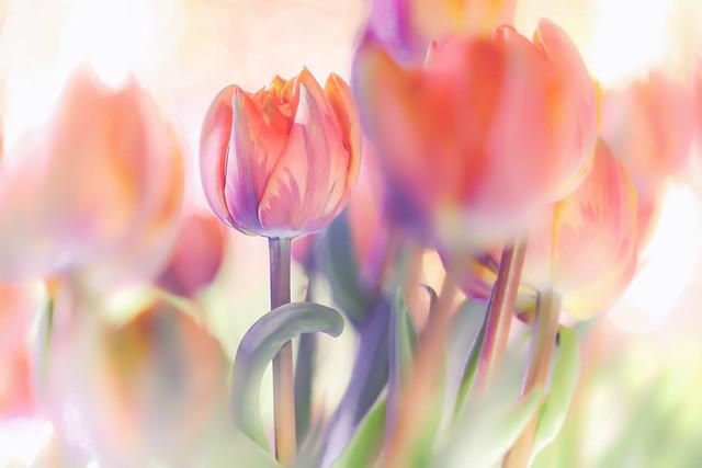 A tulip like a princess