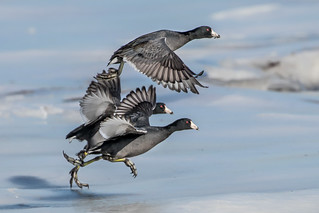 American Coot | by tonyclementsphotography