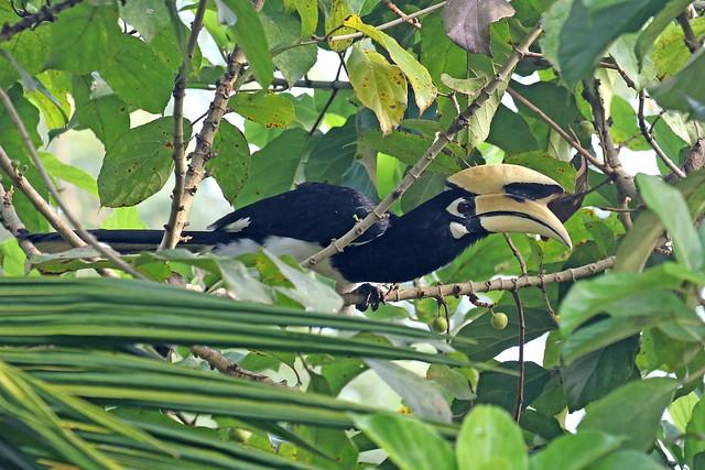 Oriental Pied Hornbill ♂ Anthracoceros albirostris
