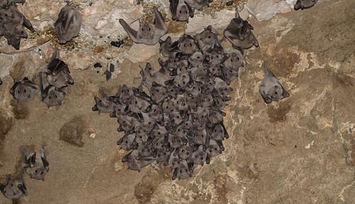 Egyptian Fruit Bat (Rousettus aegyptiacus (Geoffroy, 1810))