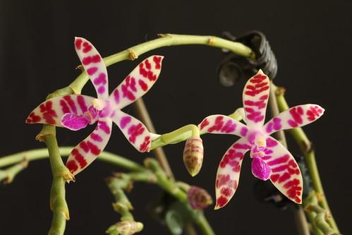 Phalaenopsis bastianii | by Pixietoe