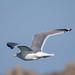 セグロカモメ(European Herring Gull)