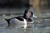 Ring-necked Duck by brian.bemmels