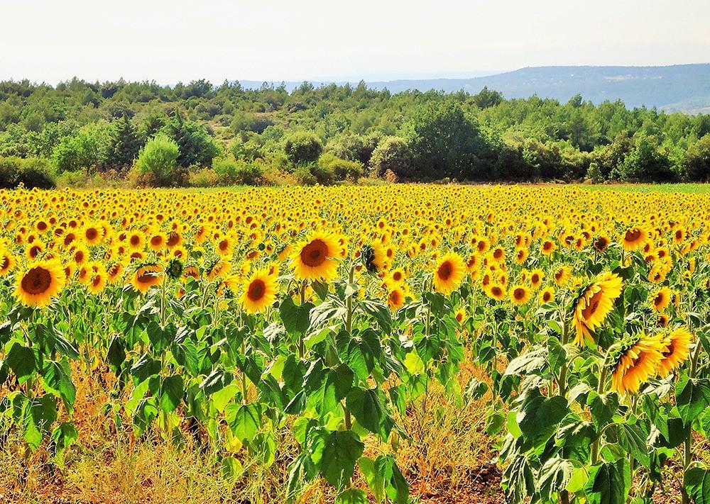 Champs de tournesol | Aix-en-Provence - France | Charlotte DUMAS ...