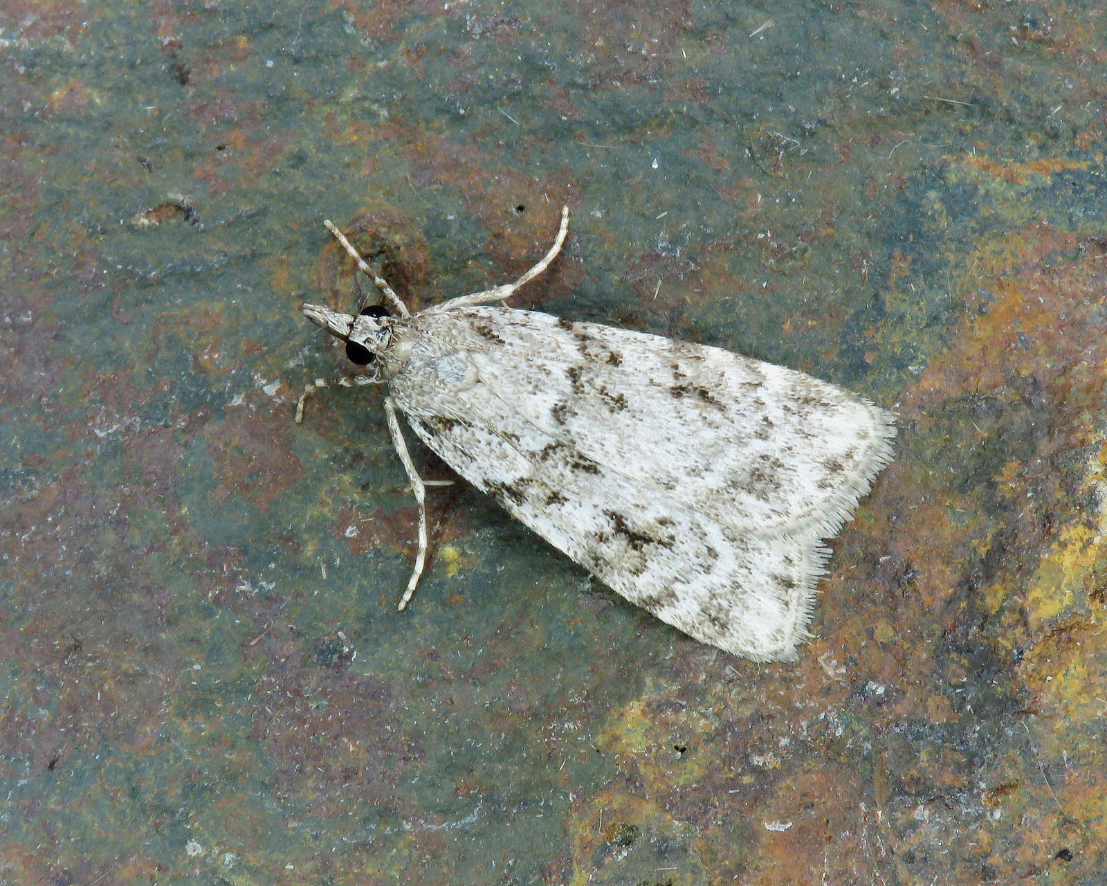 63.064 Common Grey - Scoparia ambigualis