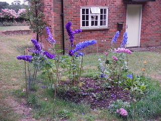 Delphiniums near Sheepcote Woods SWC Walk 189 Beeches Way: West Drayton to Cookham