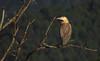 maria-faceira (Syrigma sibilatrix) Whistling Heron by Edson Roberto - Potim