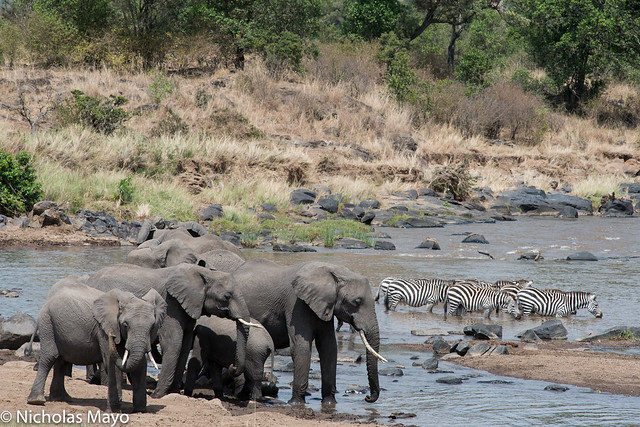Elephants & Zebra At The Mara River