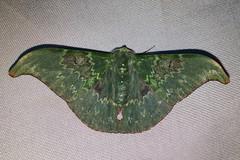 Tanaorhinus unipuncta