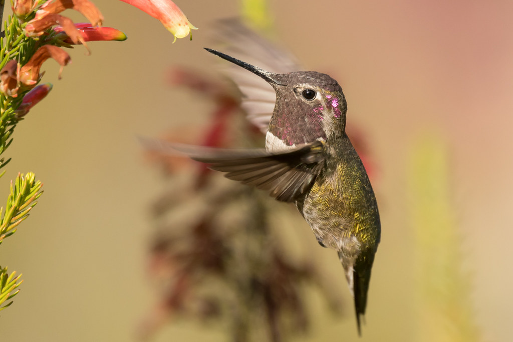 DSC_6643.jpg Anna's Hummingbird, UCSC Arboretum [explored]