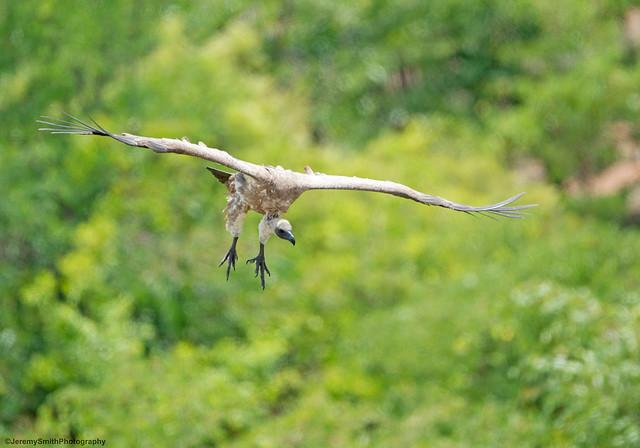 White-backed Vulture (Explored), Gyps africanus, Victoria Falls, Zimbabwe
