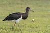 Abdim's Stork (Ciconia abdimis) by Gordon Magee