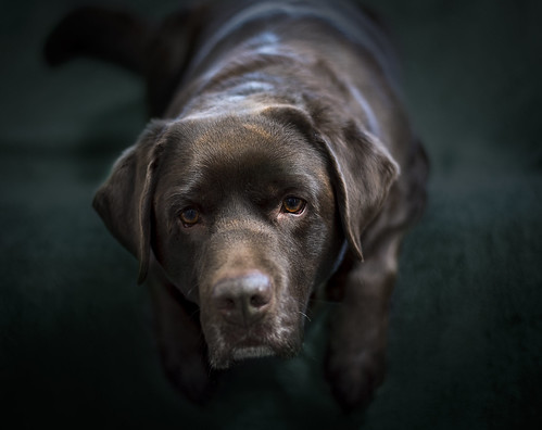 Joris the choc Lab is visiting us today. | by Angelbattle bros