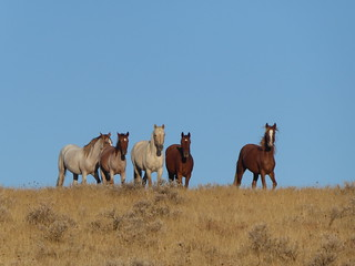 Wild horses in eastern Oregon | by BLM Oregon & Washington