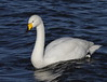 _MG_1090 Whooper Swan by sam.creighton