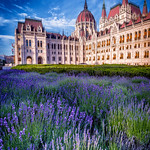 lavender field Budapest
