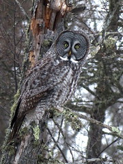 Great Gray Owl, Sax-Zim Bog, MN 1/7/2018
