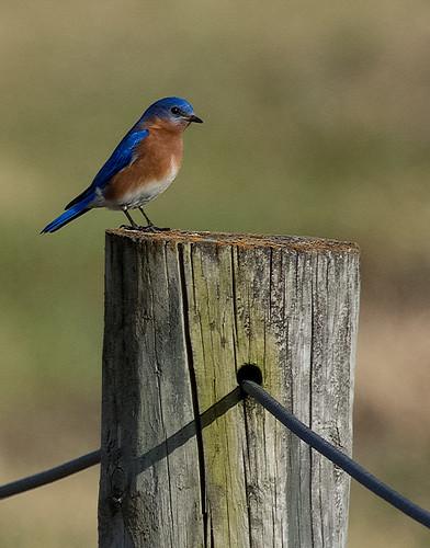 Eastern Bluebird   by enthusiast photographer