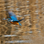 A kingfisher - catch