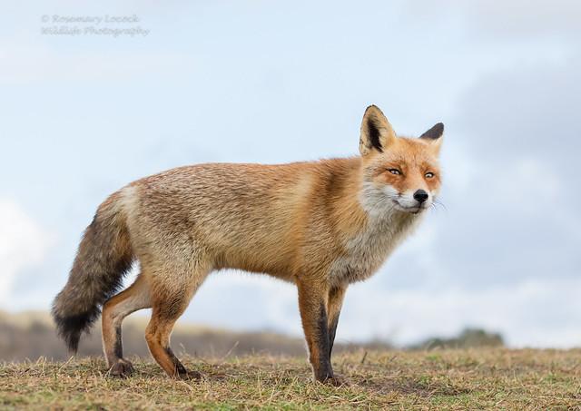 Wild Female Fox ( Vixen ) Vulpes vulpes