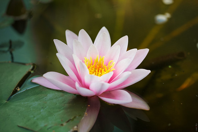 RUS63804(St.#6. Water Lily)