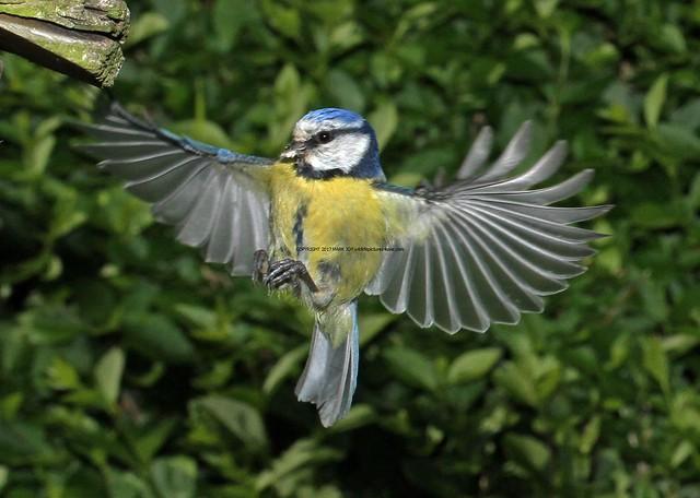 Blue Tit (Cyanistes Caeruleus) 2.6.2013 (3)